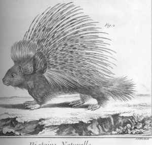 Sketch of a porcupine on all fours facing the left so we can see its left side.